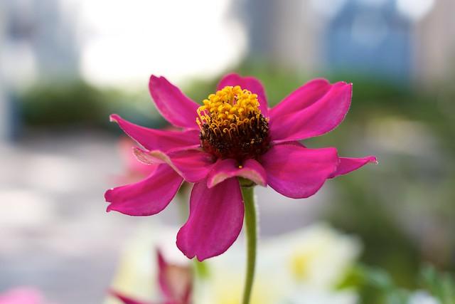 Pinkki kukka. Kuva: Mikko Saari