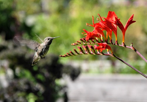 Hummingbird by ngawangchodron
