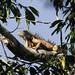 Green Iguana (Peter Dunn)