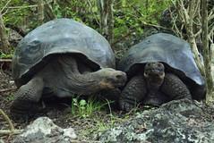 animal, turtle, box turtle, reptile, fauna, wildlife, tortoise,