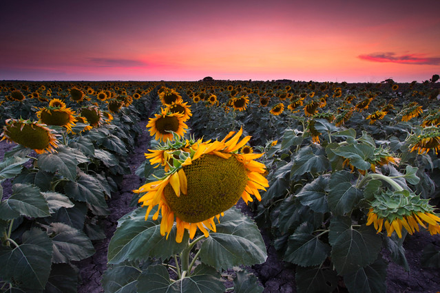 Sunflower Dreaming - Collin County, TX