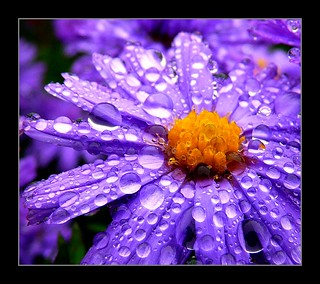 Winteraster im Regen - after the rain