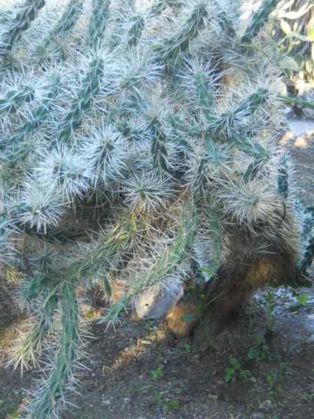 Opuntia tunicata v 2