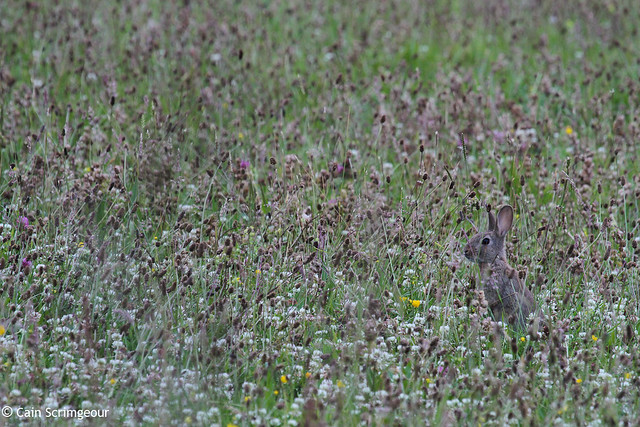 Rabbit in the Meadow