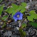 Ipomea hederacea, Ivy-leaved Morning Glory