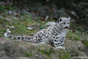 Snow leopard cub looking into the distance