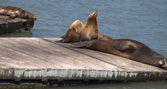 hippopotamus(0.0), animal(1.0), seals(1.0), sea lion(1.0), marine mammal(1.0), wood(1.0), fauna(1.0), wildlife(1.0),