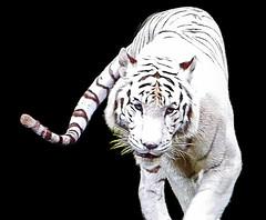 animal, snow leopard, big cats, tiger, mammal, illustration,