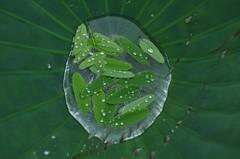 Tears of leaves