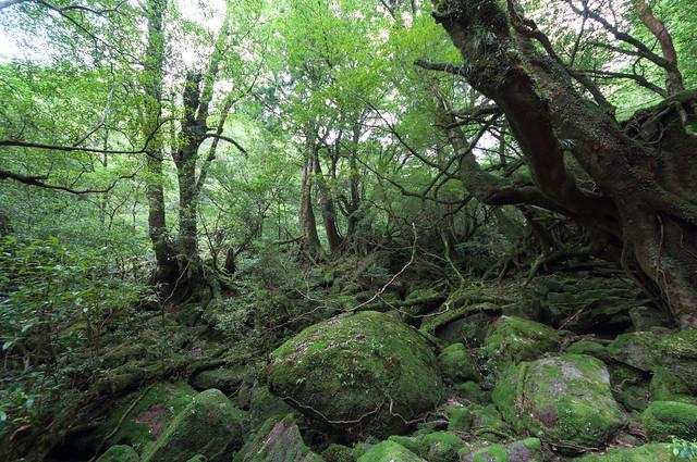 屋久島原生林