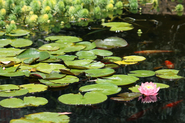 Lily pad blooms gallery for Used koi pond equipment sale