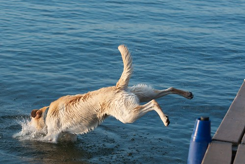 Buddy the Labrador jumping off the dock