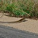Small photo of Black Mamba (Dendroaspis polylepis)