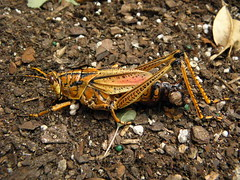 arthropod, locust, animal, cricket, invertebrate, insect, macro photography, grasshopper, fauna, wildlife,