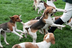 animal sports(0.0), brazilian terrier(0.0), treeing walker coonhound(0.0), sports(0.0), ibizan hound(0.0), finnish hound(0.0), drever(0.0), russell terrier(0.0), dog breed(1.0), animal(1.0), hound(1.0), danish swedish farmdog(1.0), harrier(1.0), dog(1.0), english foxhound(1.0), american foxhound(1.0), pet(1.0), hamiltonstã¶vare(1.0), estonian hound(1.0), carnivoran(1.0), beagle(1.0),