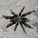 California Ebony Tarantula - Photo (c) Marcel Holyoak, some rights reserved (CC BY-NC-ND)