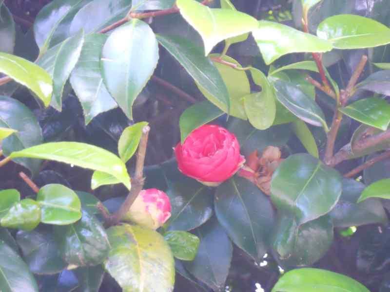Camellia japonica 'Comte de Gomer' 1