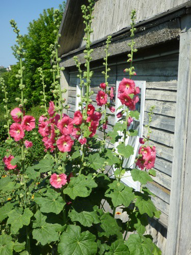 Lith-hollyhocks