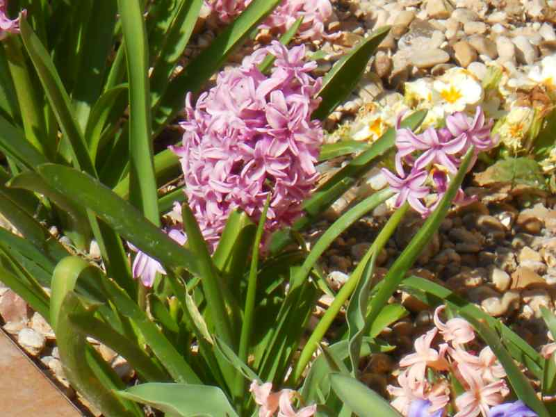 Hyacinthus 2