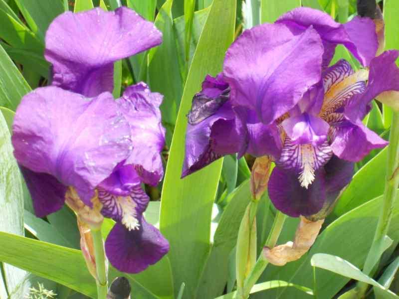 Iris germanica 3