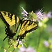 eastern tiger swallowtail on bee balm