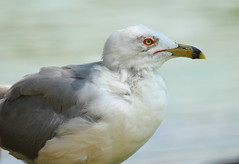 Ring-billed Gull at CG 2