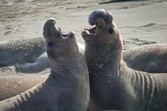 Noisy Seals