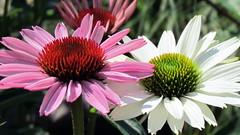 marguerite daisy(0.0), annual plant(1.0), flower(1.0), plant(1.0), daisy(1.0), macro photography(1.0), wildflower(1.0), flora(1.0), oxeye daisy(1.0), close-up(1.0), daisy(1.0), purple coneflower(1.0), petal(1.0),