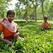 Tea Pickers Outside Srimongal - Bangladesh