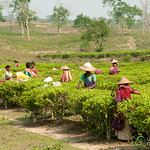 Tea Pickers at Finlay Tea Estate - Srimongal, Bangladesh