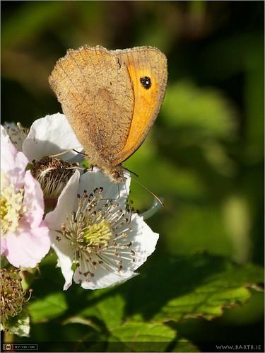 ireland flower macro butterfly insect wildflower kildare leixlip meadowbrownmaniolajurtina bramblesblackberriesrubusfruticosusagg