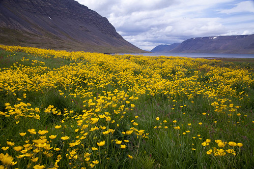 Iceland Flowers