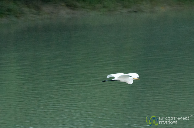 Heron Takes Flight - Sundarbans, Bangladesh