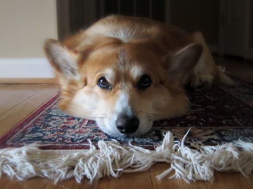 Carpet Corgi