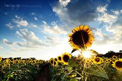 Sunflower's flare