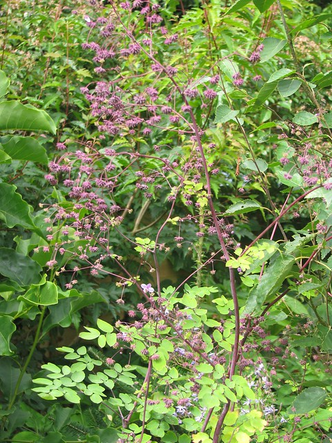 Thalictrum definition meaning for Thalictrum rochebrunianum rhs