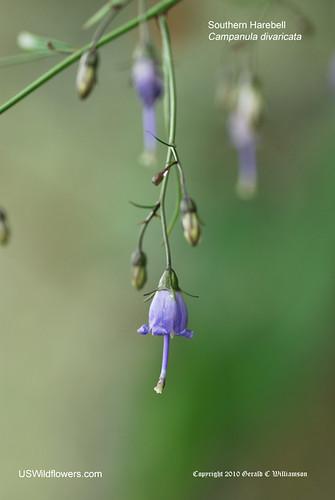 Southern Harebell, Small Bonny Bellflower, Southern Bellflower, Southern Bluebell - Campanula divaricata