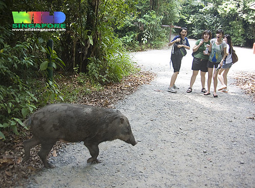 Wild boar (Sus scrofa) surprises visitors to Chek Jawa