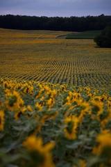 Midi-Pyrénées Sunflowers