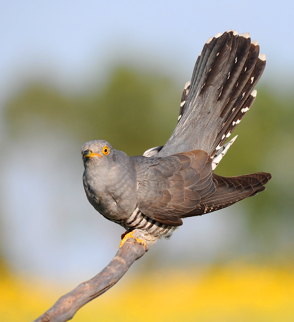 Cuco / Eurasian Cuckoo