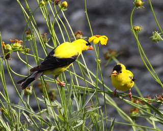 Father & Son  (Goldfinches)