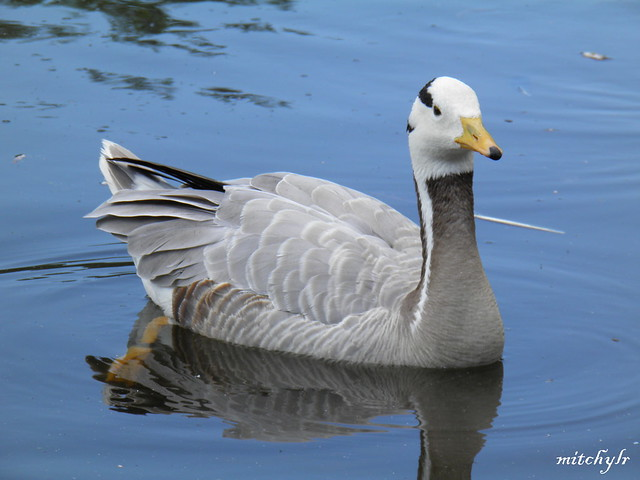 Bar-Headed Goose 5