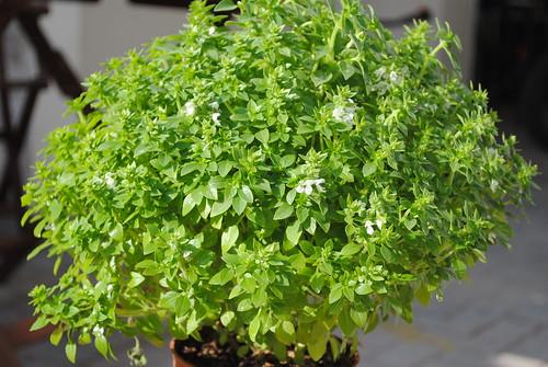 Plantas arom ticas flickr for Jardinera plantas aromaticas