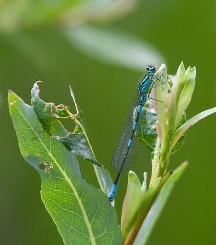 insect us ode dragonfly co damselfly odonata coenagrionidae odonate larimercounty coenagrion taigabluet ponddamsel zygeroptera co11 coenagrionresolutum