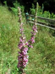 hyssopus, annual plant, flower, plant, wildflower, flora, verbascum,