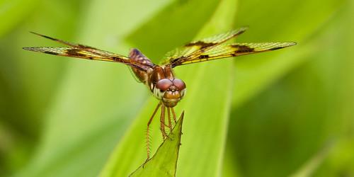 insect nj animalportrait 2011 schermanhoffman newjerseyaudubon kh0831