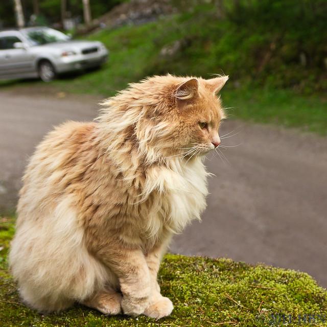 Fluffy Ginger Cat Breed