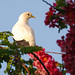 Pied Imperial Pigeon (Andrew Rest)