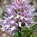 Naked Man Orchid, Orchis italica (Paul Harmes)