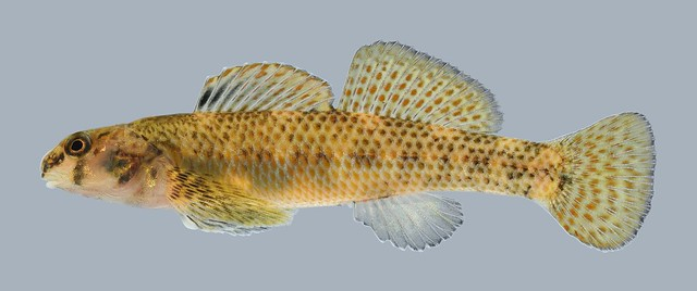 Slough darter observed by teamfish on October 19, 2013 ...